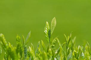 お茶の葉の写真素材 [FYI01656429]