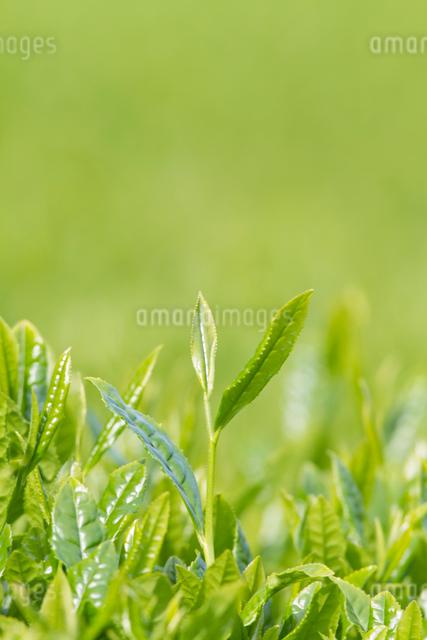 お茶の葉の写真素材 [FYI01656443]