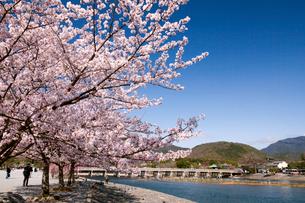嵐山の桜と渡月橋の写真素材 [FYI01656446]