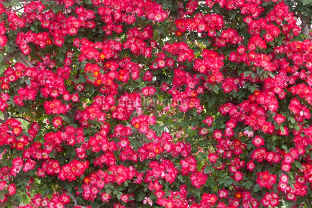 赤い薔薇の花壇の写真素材 [FYI01656462]
