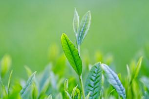 お茶の葉の写真素材 [FYI01656474]
