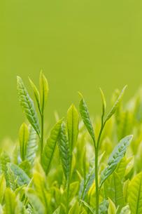 お茶の葉の写真素材 [FYI01656493]