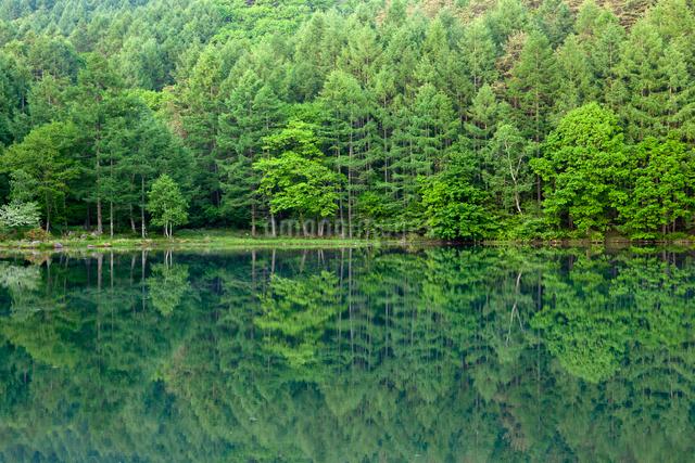 御射鹿池湖畔 新緑の林の写真素材 [FYI01656501]
