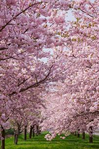 桜並木の写真素材 [FYI01656599]