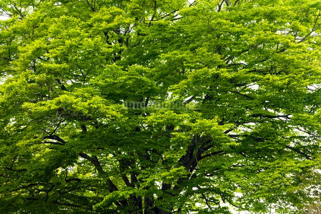 ブナの樹の写真素材 [FYI01656688]