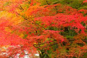 修善寺楓橋付近の紅葉の写真素材 [FYI01656689]