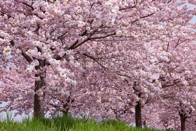 桜並木の写真素材 [FYI01656695]