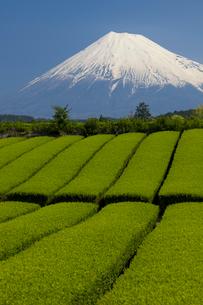 茶畑と富士山の写真素材 [FYI01656696]