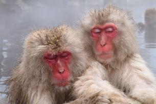 地獄谷野猿公苑 露天風呂と猿の写真素材 [FYI01656697]