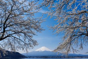 富士山と桜の写真素材 [FYI01656715]