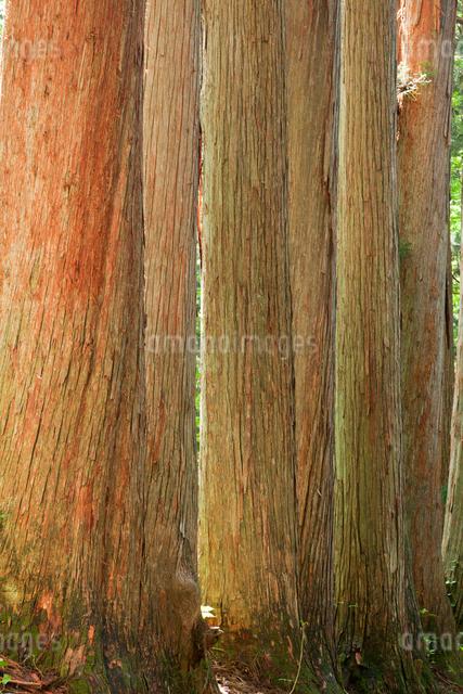 戸隠神社 奥社参道の杉並木の写真素材 [FYI01656760]