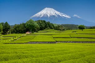 富士山と茶畑の写真素材 [FYI01656775]