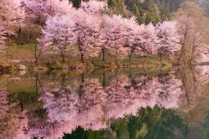 中綱湖畔の桜の写真素材 [FYI01656784]