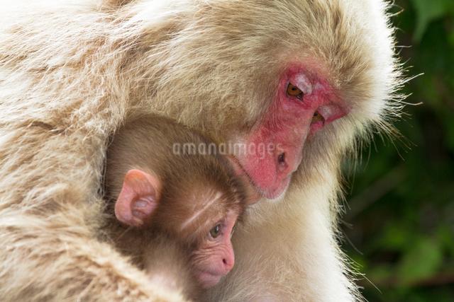 赤ちゃん猿と母猿の写真素材 [FYI01656791]