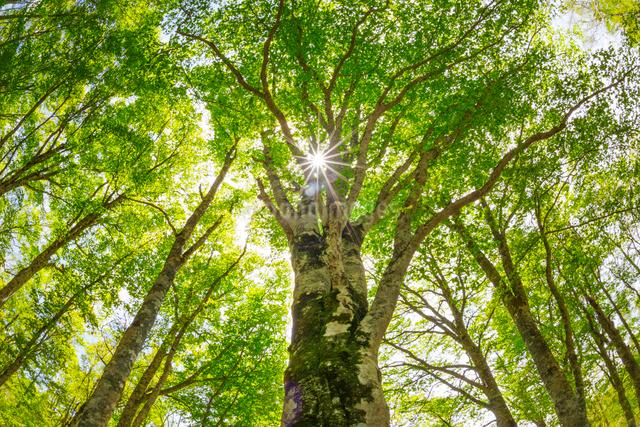 ブナの巨木の梢と木漏れ日の写真素材 [FYI01656816]