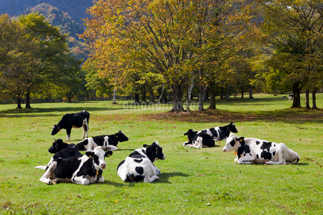 戸隠牧場の牛の写真素材 [FYI01656847]