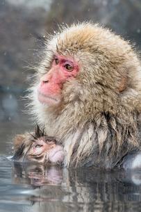 温泉に入るスノーモンキーの写真素材 [FYI01656859]