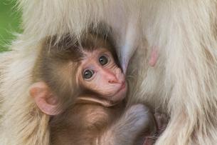 母猿に抱かれた赤ちゃん猿の写真素材 [FYI01656878]