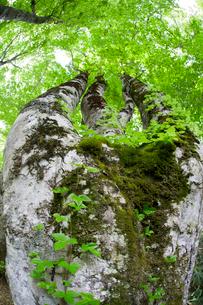 ブナの巨木を見上げるの写真素材 [FYI01656929]