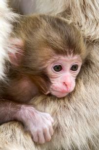 母猿の肩に乗った赤ちゃん猿の写真素材 [FYI01656957]