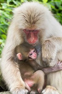 赤ちゃん猿と母猿の写真素材 [FYI01657028]