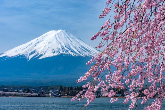 富士山と桜の写真素材 [FYI01657119]