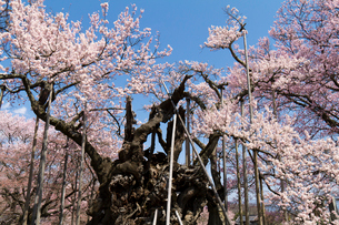 山高神代桜の写真素材 [FYI01657120]