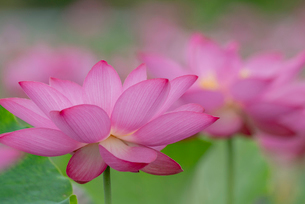 古代蓮の花の写真素材 [FYI01657139]