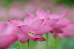 古代蓮の花の写真素材 [FYI01657144]
