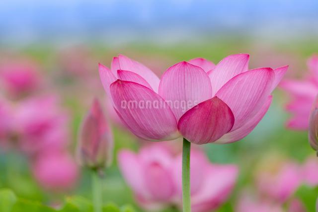 古代蓮の花の写真素材 [FYI01657181]