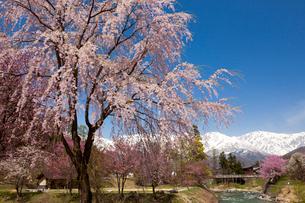 桜と大出吊橋と白馬連峰の写真素材 [FYI01657198]