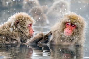 温泉に入るスノーモンキーの写真素材 [FYI01657221]