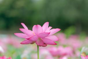 古代蓮の花の写真素材 [FYI01657246]