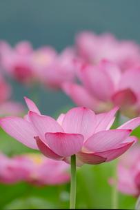 古代蓮の花の写真素材 [FYI01657316]