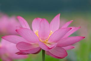 古代蓮の花の写真素材 [FYI01657318]