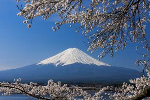 富士山と桜の写真素材 [FYI01657330]