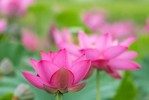 古代蓮の花の写真素材 [FYI01657336]