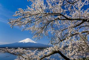 富士山と桜の写真素材 [FYI01657349]