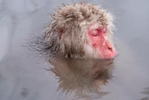 温泉に入るスノーモンキーの写真素材 [FYI01657364]
