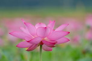 古代蓮の花の写真素材 [FYI01657368]