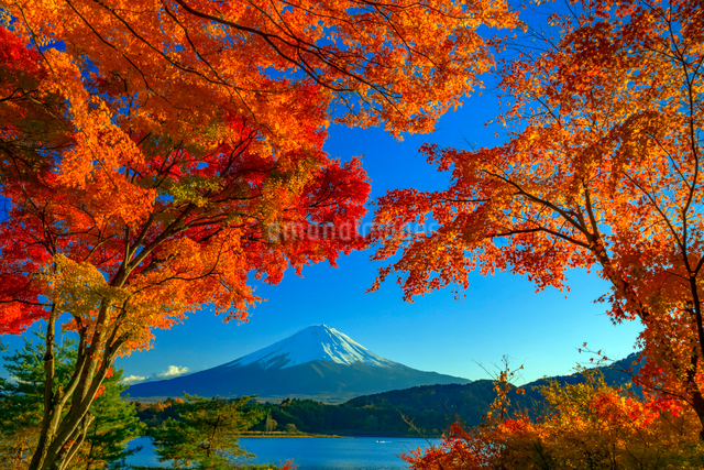 富士山と紅葉の写真素材 [FYI01657375]
