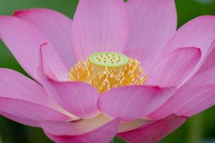 古代蓮の花の写真素材 [FYI01657411]