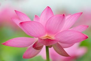 古代蓮の花の写真素材 [FYI01657431]
