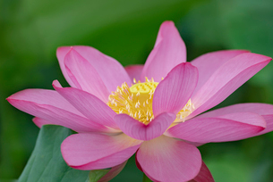 古代蓮の花の写真素材 [FYI01657434]