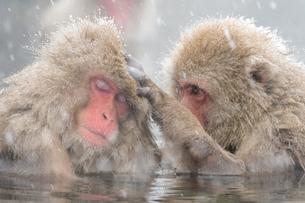 温泉に入るスノーモンキーの写真素材 [FYI01657437]