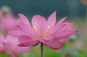 古代蓮の花の写真素材 [FYI01657456]
