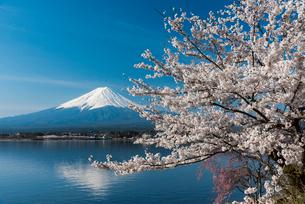 富士山と桜の写真素材 [FYI01657493]