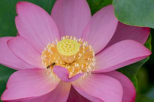 古代蓮の花の写真素材 [FYI01657582]
