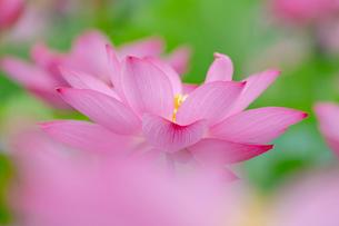 古代蓮の花の写真素材 [FYI01657583]