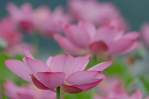 古代蓮の花の写真素材 [FYI01657766]